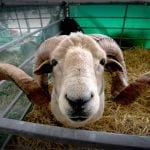 Sheep at the Great Show Yorkshire